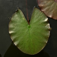 lily pads-square
